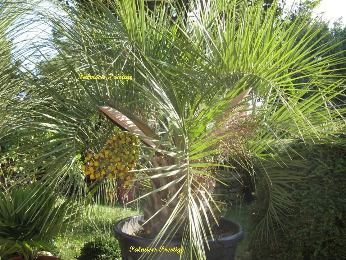 Butia archeri palmier tropical rare au port compact pour - Palmier en pot pour terrasse ...
