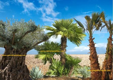 Palmiers prestige vente de palmiers et cocotiers d 39 ext rieurs - Racine d un palmier ...