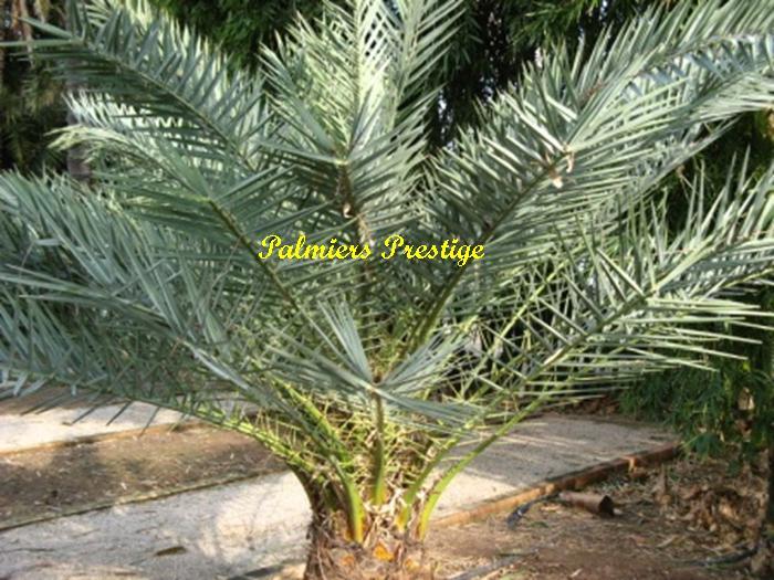 Phoenix theophrastii vente des plus beaux palmiers d for Palmier d exterieur resistant au froid