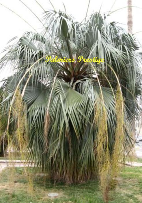 Brahea armata clara vente des plus beaux palmiers d for Le plus beau canape du monde