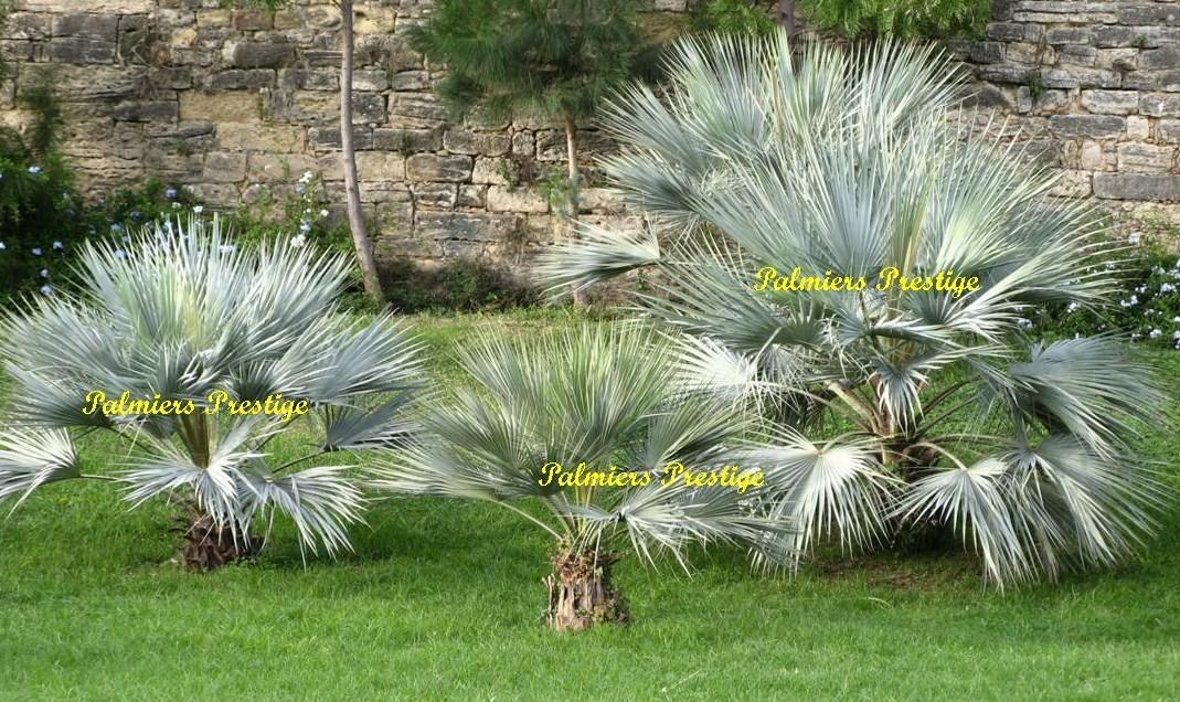 Palmiers prestige vente de palmiers et cocotiers d for Palmier d exterieur resistant au froid