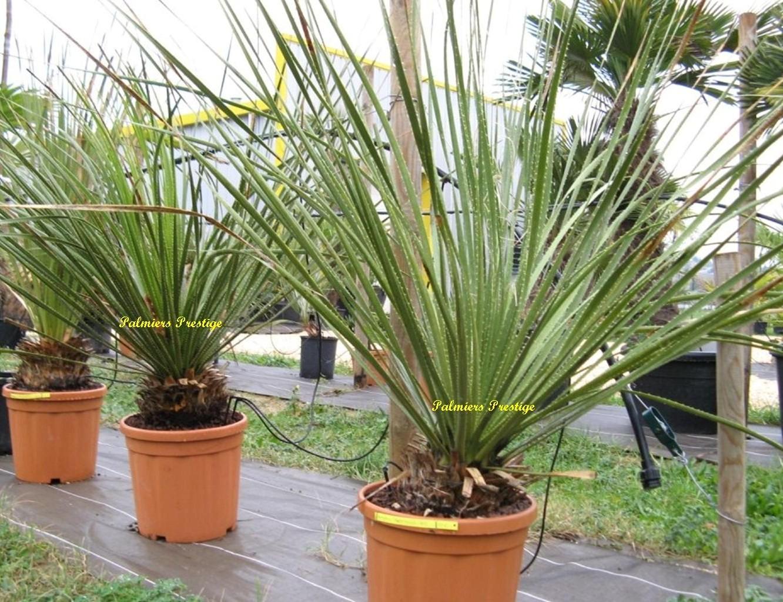 Plantes exotiques pour jardin et terrasse en vente chez palmiers prestige - Plantes pour jardin japonais exterieur ...