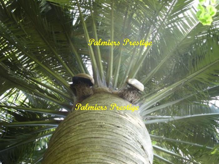 jubaea chilensis vente des plus beaux palmiers et cocotiers d 39 ext rieur. Black Bedroom Furniture Sets. Home Design Ideas