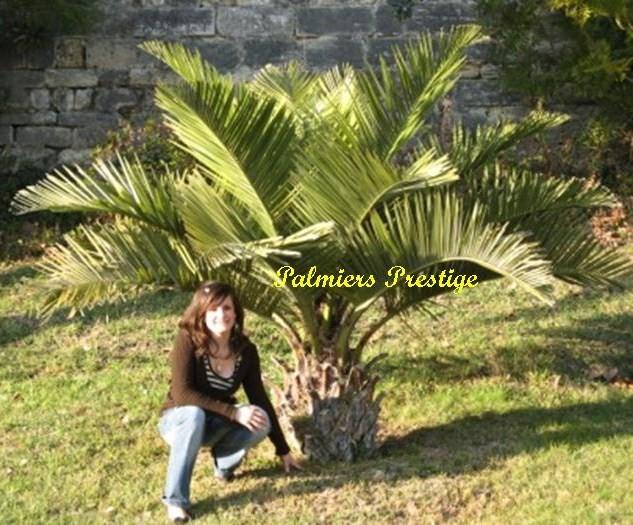 Jubaea chilensis vente des plus beaux palmiers et - Palmier d exterieur ...