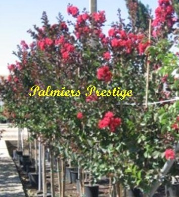 plantes m diterran ennes rares r sitantes jusqu 39 15 c en vente chez palmiers prestige. Black Bedroom Furniture Sets. Home Design Ideas