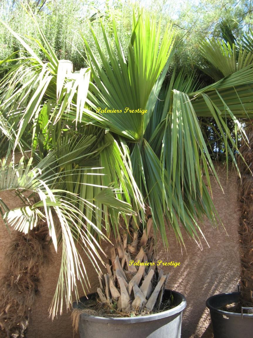 sabal palmetto vente des plus beaux palmiers d 39 ext rieur. Black Bedroom Furniture Sets. Home Design Ideas