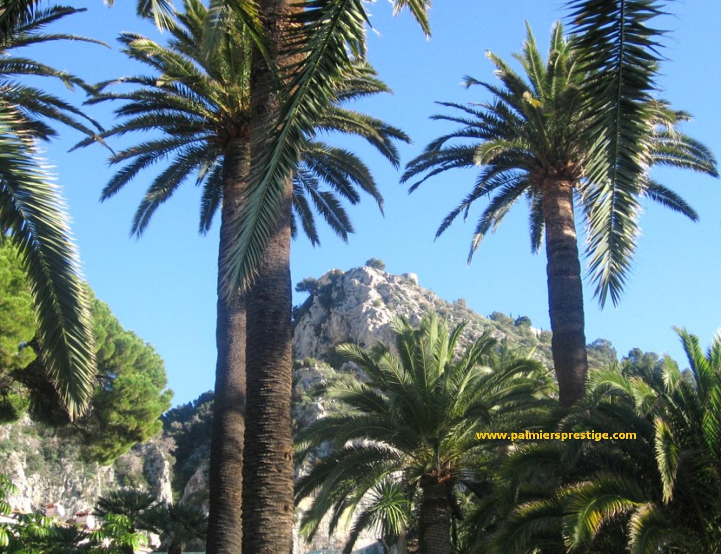 Palmier appartement - Quand tailler un palmier ...