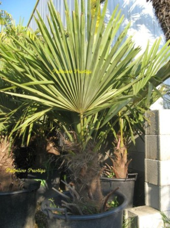 Trachycarpus fortunei, Réf : TF1120 Large stipe Promotion