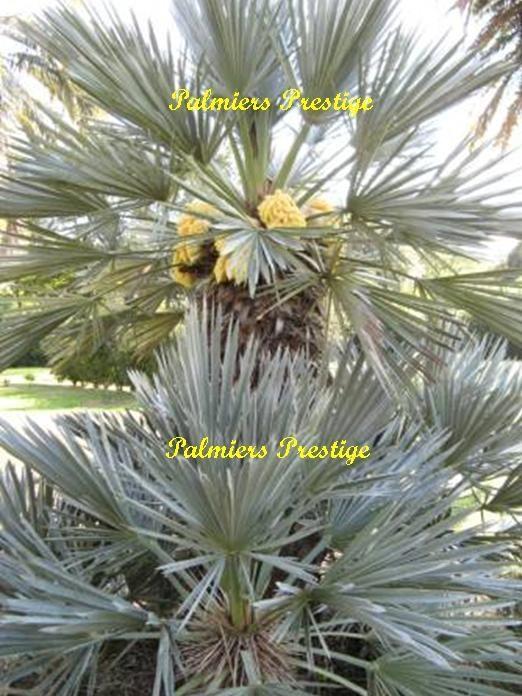 Trithrinax campestris vente des plus beaux palmiers d 39 ext rieur - Palmier d exterieur ...