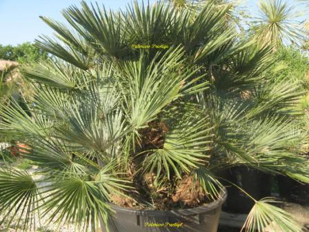 chamaerops humilis cerifera vente des plus beaux palmiers d 39 ext rieur. Black Bedroom Furniture Sets. Home Design Ideas