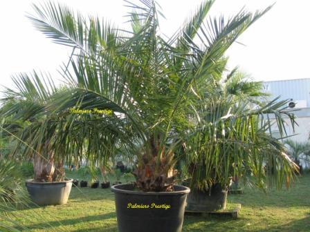 Jubaea chilensis vente des plus beaux palmiers et cocotiers d 39 ext rieur - Palmier d exterieur ...