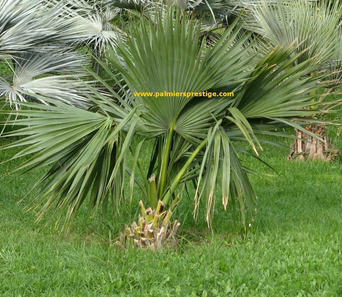 sabal bermudana achat palmiers prestige. Black Bedroom Furniture Sets. Home Design Ideas