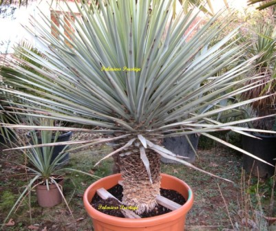 Plantes exotiques pour jardin et terrasse en vente chez for Plante exotique exterieur rustique