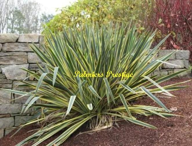 Yucca filamentosa bright edge en vente chez palmiers for Grande plante verte exterieur