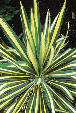 Plantes exotiques pour jardin et terrasse en vente chez for Yucca exterieur